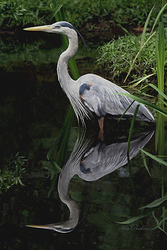 Blue Heron Wading Giclee