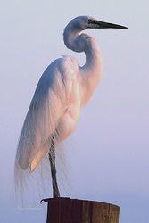 Egret at Sunset Giclee