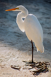Egret in Blue Giclee