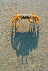Ghost Crab Shadow Giclee