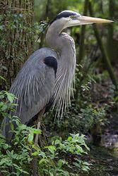 Great Blue Heron Giclee