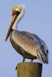 Pelican Watch Giclee