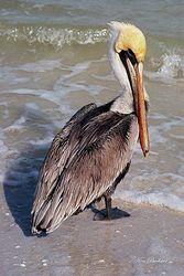 Sunday Pelican Giclee