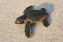 Baby Sea Turtle Giclee