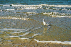 Egret In Surf Giclee