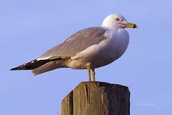 Gull Giclee