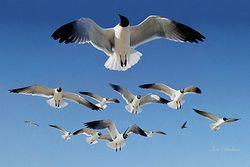 Gulls Giclee