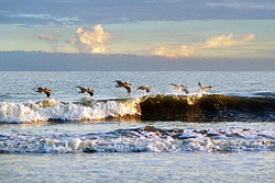 Pelican Wave Giclee