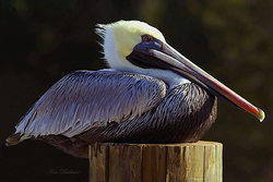 Resting Pelican Giclee