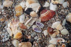 Shells Giclee