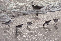 Silver Surf and Shorebirds Giclee