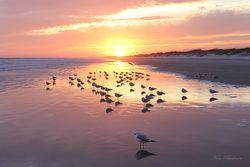 Sunset Gulls Giclee