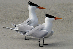 Terns Giclee