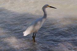 White Heron Giclee