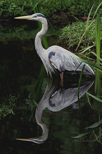 Blue Heron Wading Giclee For Sale Cottage Amp Bungalow