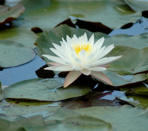 White Water Lily Giclee