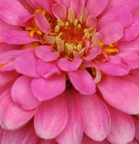Pink Zinnia Giclee