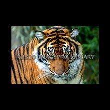 Rosco iPro Slide Tiger P8860